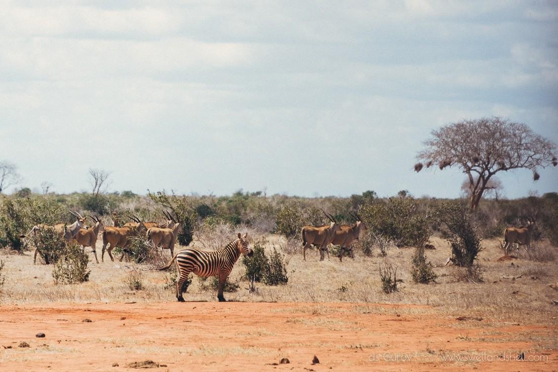 импалы в африке