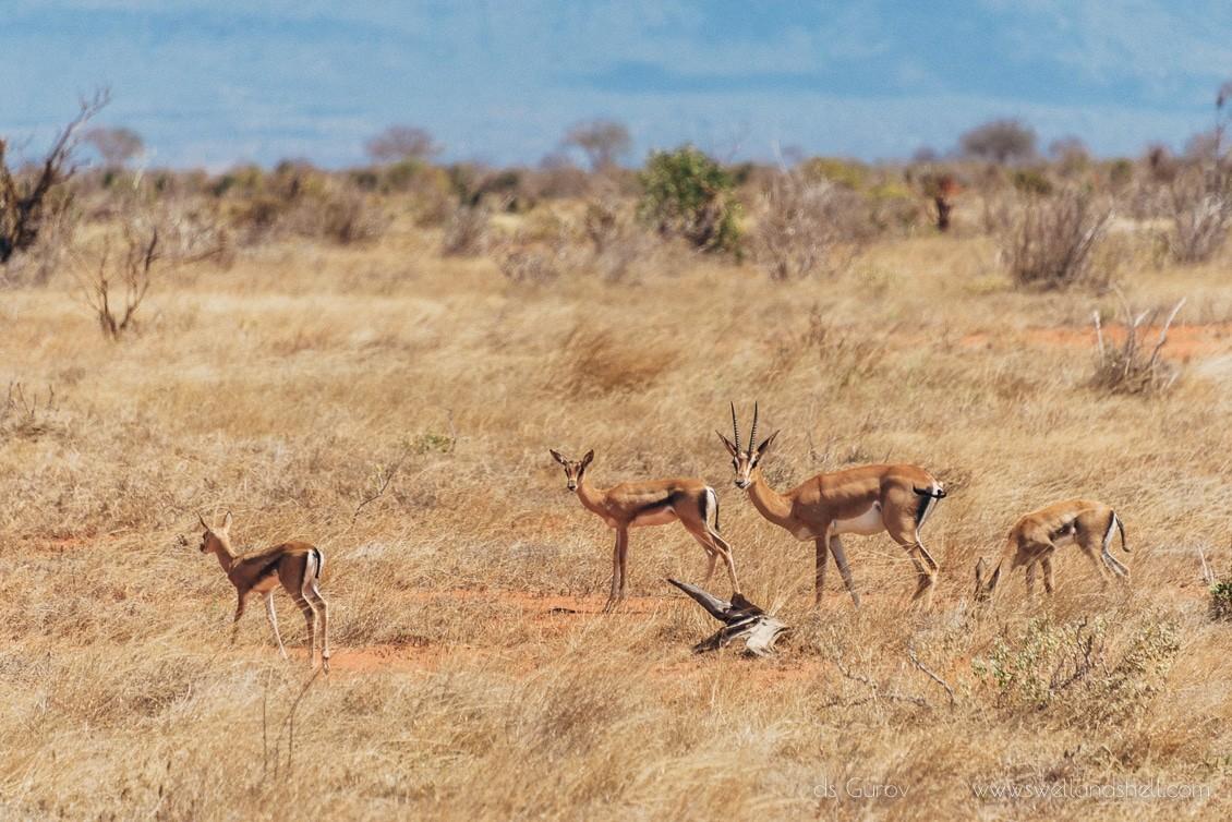 антилопы в кении