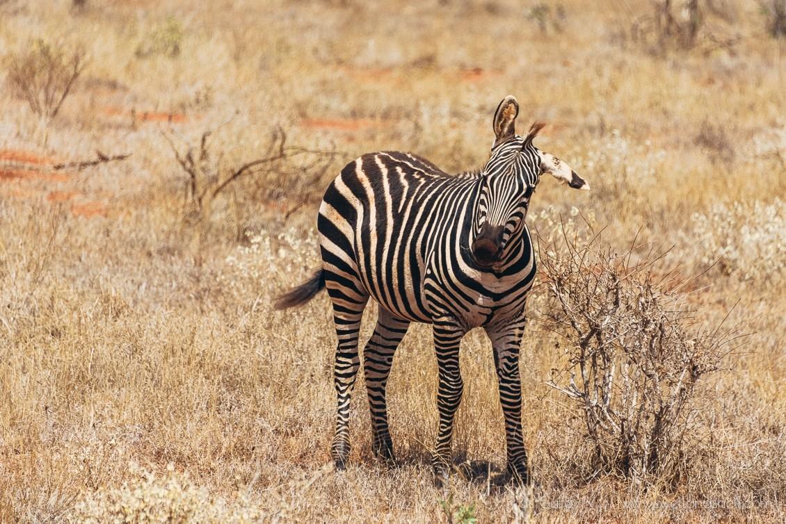 зебра в кении