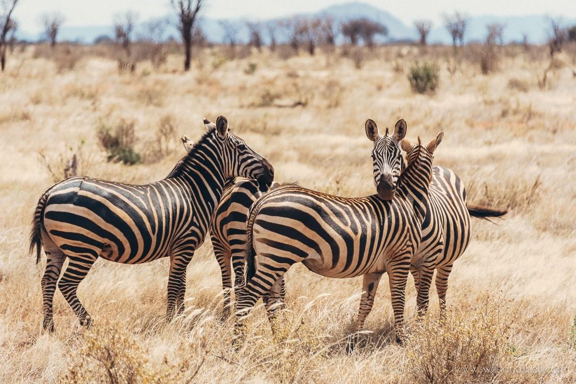 зебры охраняют друг друга