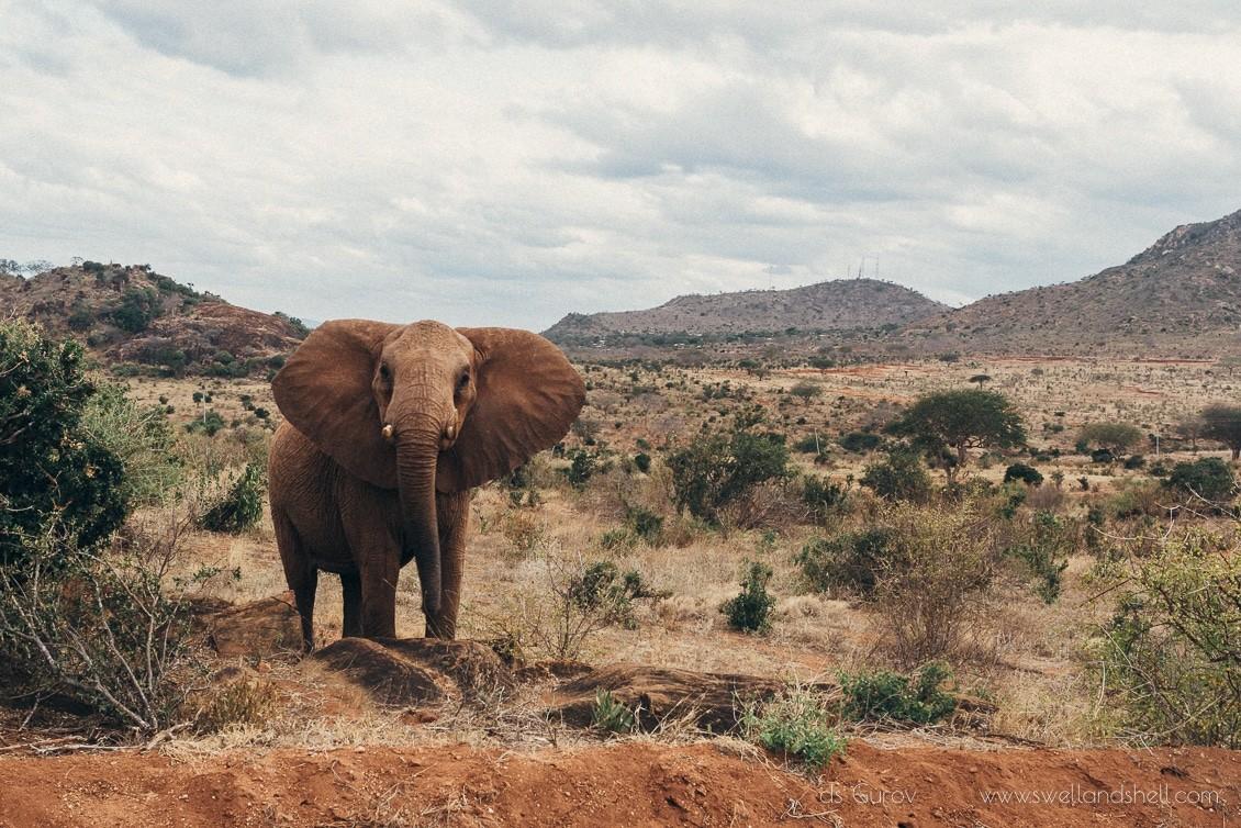 африканский слон на сафари