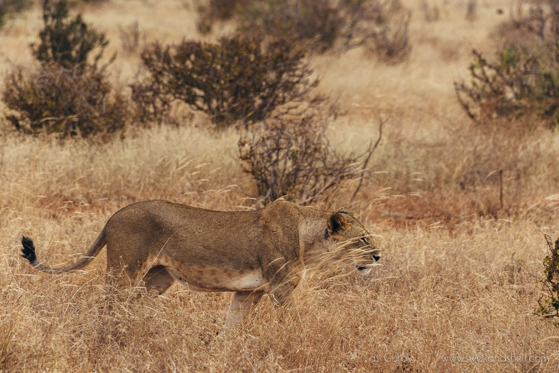львица в саванне