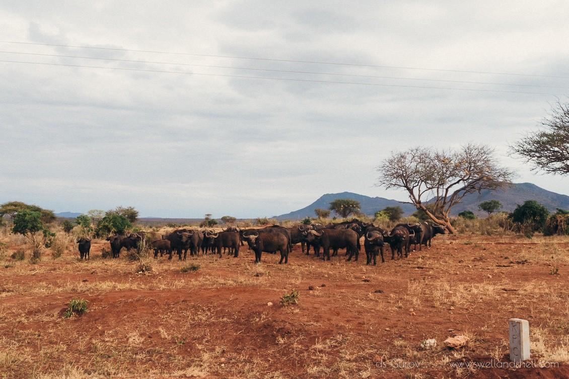 буйволы в кении