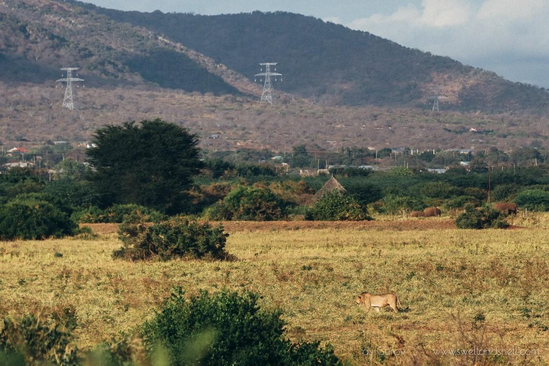 львы в кении