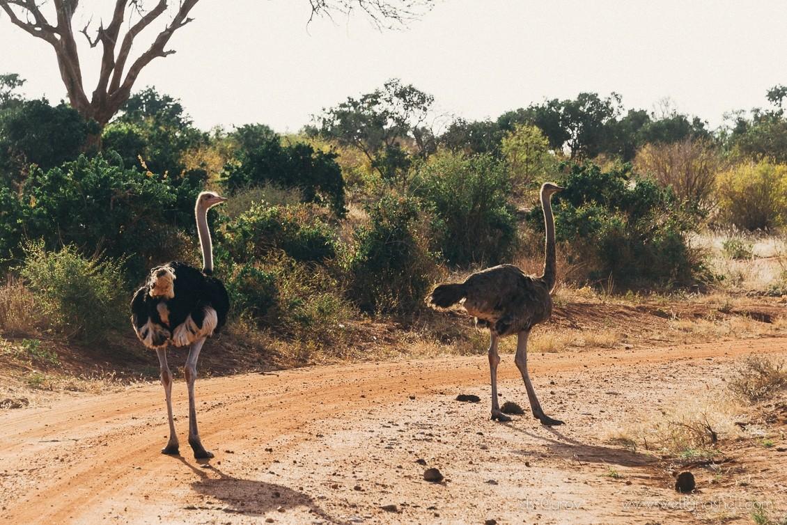 страус в кении