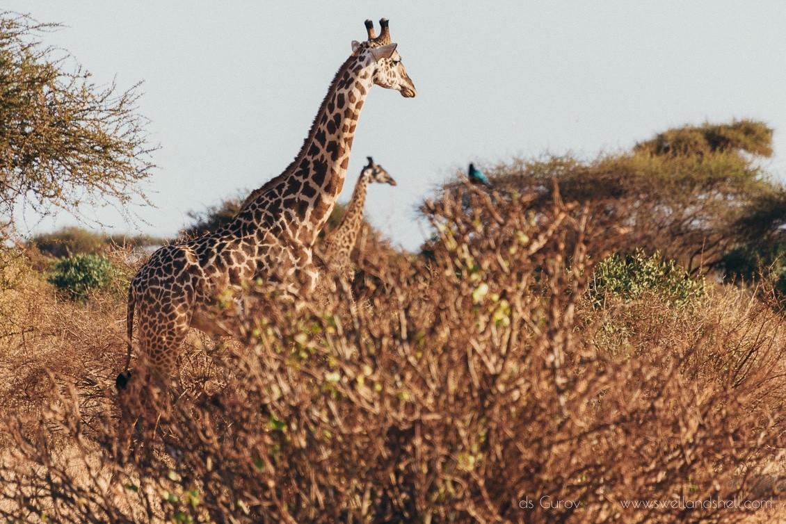 жирафы на сафари в кении