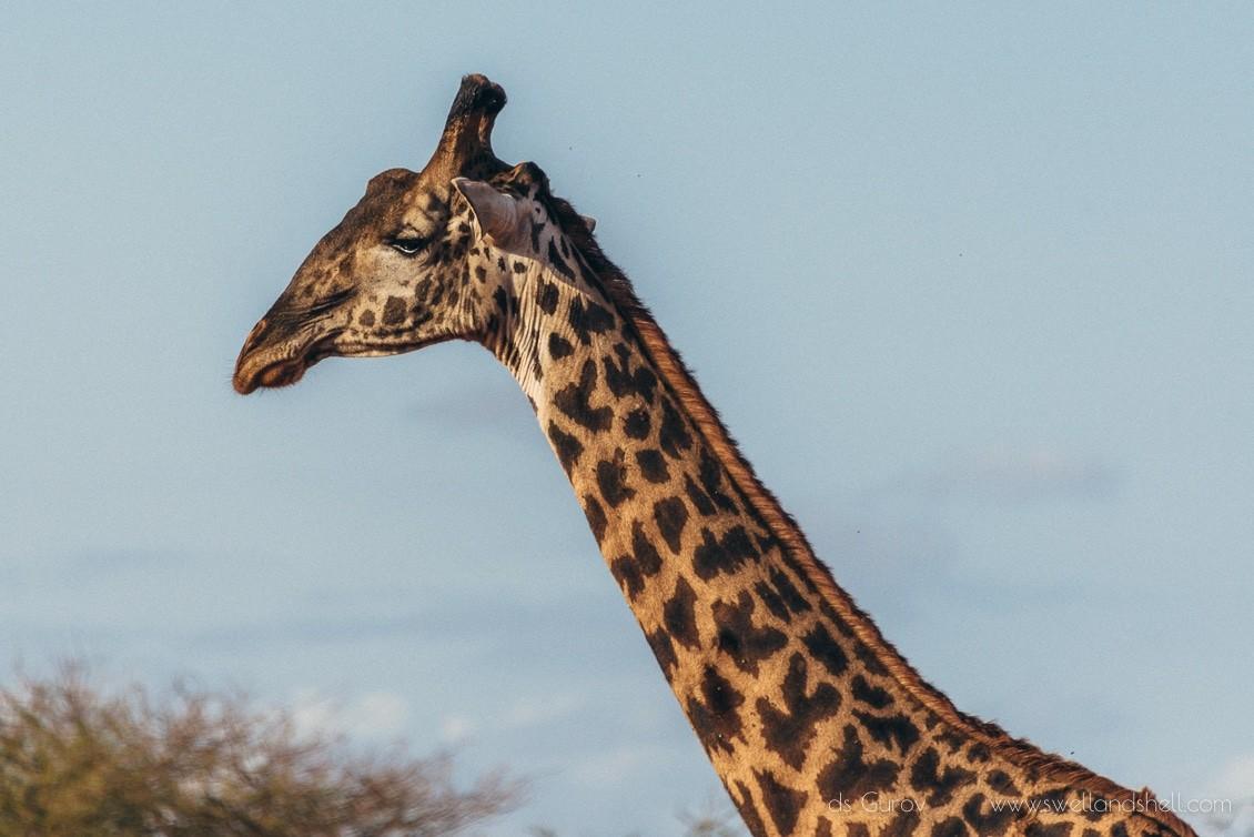 сафари на жирафов