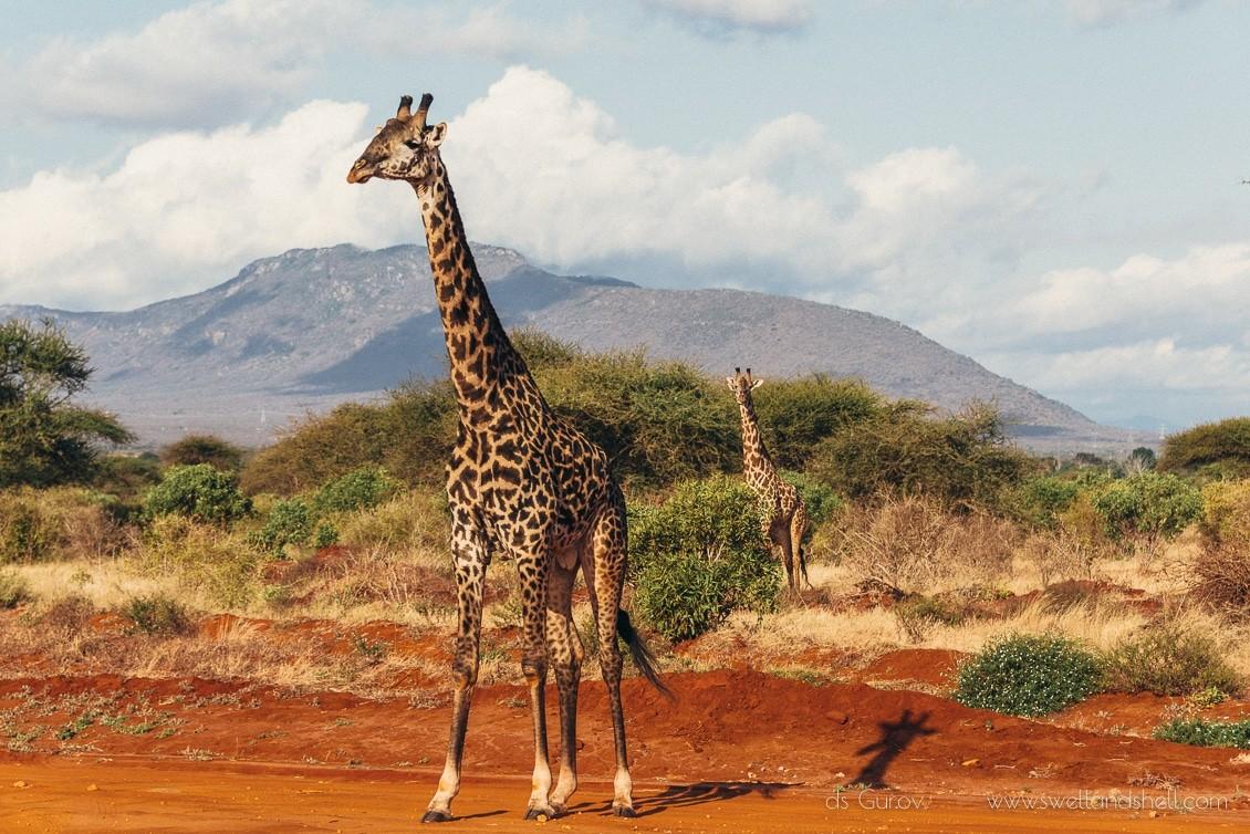 жирафы в африке