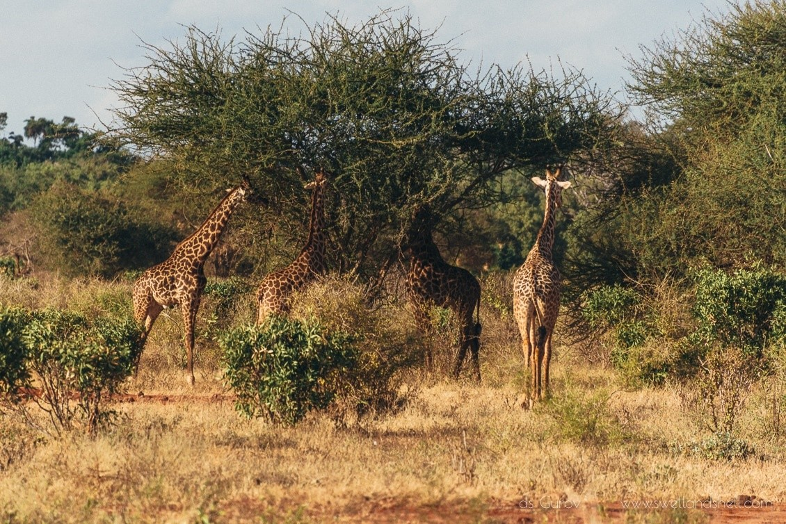 жирафы едят листья
