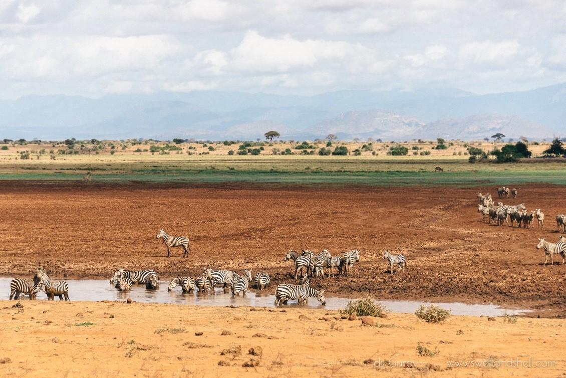 африканские зебры у водопоя