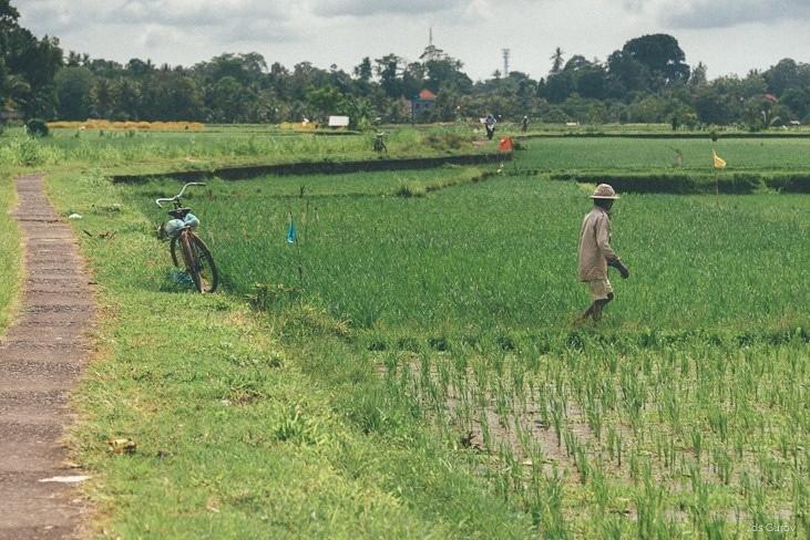 рисовые терассы на бали