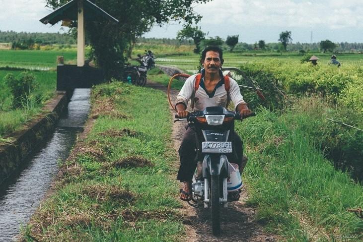 как опрыскивают рис на Бали