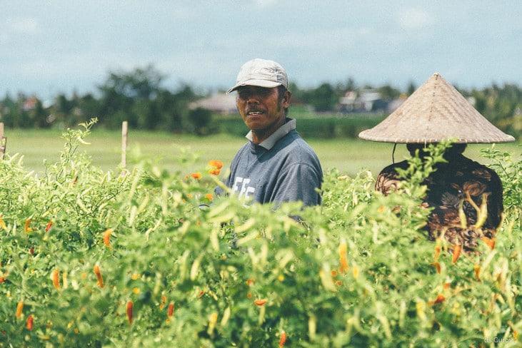 сбор урожая на полях Бали