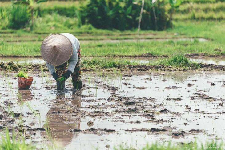 посадка молодого риса на террасу